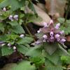 ヒメオドリコソウ Lamium purpureum
