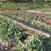 庭のチューリップが真っ盛り!