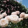 春のお散歩:鮮やかに可憐に彩るピンクのバラ