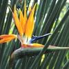 今日のバースデーフラワー「ゴクラクチョウカ=ストレリチア」天国の花で仏教なら極楽の花!