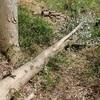 樫の木の引取り 緻密 Taking home the oak tree