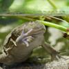 マルメタピオカガエル Lepidobatrachus laevis