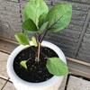 ベランダ発プランター菜園!ナス「千両二号」を育てはじめました。
