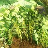 第三弾 枝豆の収穫