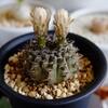 【多肉植物】開花まであと一歩!ギムノカリキウム 黒刺鳳頭さん