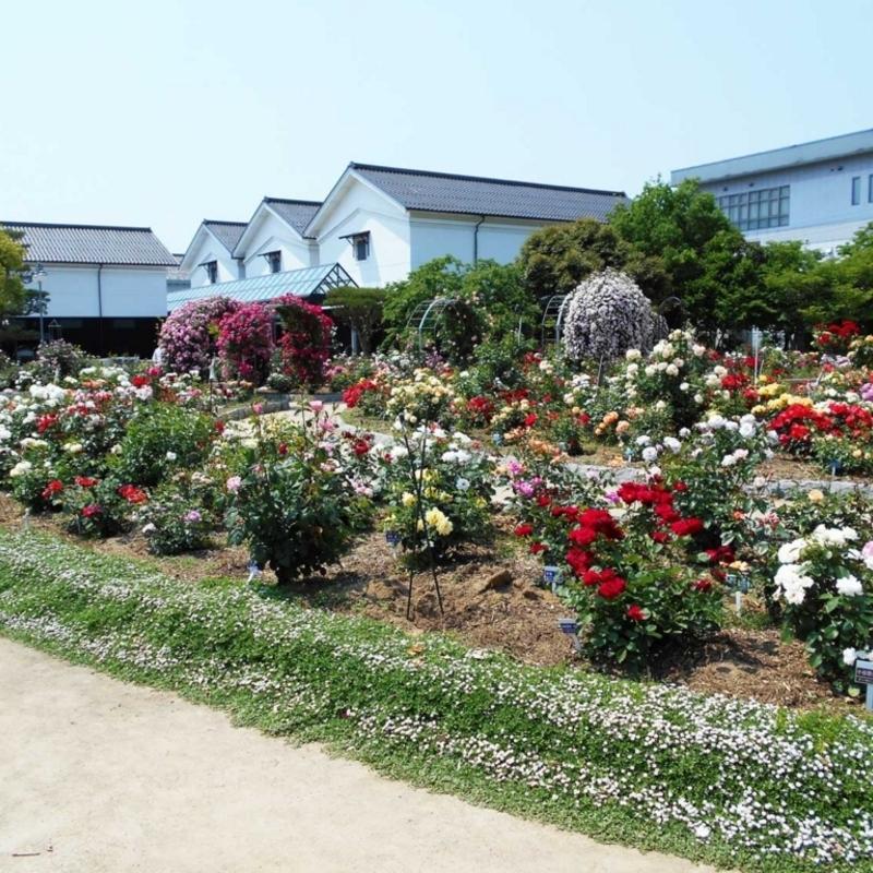週末はココへ!  アンネのバラも咲く綾部バラ園「春のバラまつり」へ