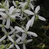 センニンソウの香り 仙人草 Clematis terniflora