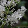 アスチルベ/アワモリショウマ(泡盛升麻)か乳茸刺 Astilbe japonica