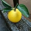 幻の果物『小夏』高知県を代表する果物!りんごのように皮を剥き、甘皮と一緒に食べるよ⭐関東では見たことがありません!