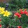 庭の鉢植えのユリ(百合)が満開