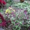 玉ねぎ苗 定植
