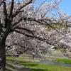 桜と鯉のぼり 2019 4/11