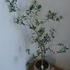 オリーブの植え替えの方法と100均ダイソーで買ったゴムの木の引っ越し