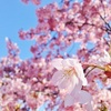 青空に小室桜が満開。抹茶のチロルチョコが美味