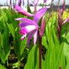2013/02/19 シランを7号鉢から地植え、NPポットへ