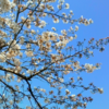 今日の1枚 ~岡本南公園の桜~