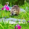 姫路のヌートリア:「ネズミの仲間」なら予防拘禁してもいいのか