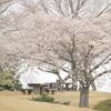 庭田山の桜