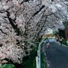 オールドレンズで撮る桜 2