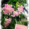 そういえばユリは夏の花でした。