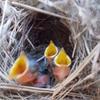 ブリスベン近郊に住む我が家の庭で生まれた鳥たち(ブルー・レン)