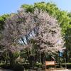 小金井公園の里桜を楽しみました