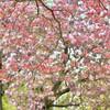 【八重桜とハナミズキ】