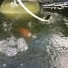 屋外飼育の水、凍る!