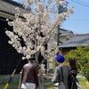 花見客 大島桜満開