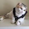 ダイソーの猫グッズ。紋付はかま。