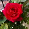 今年はバラの開花が早い