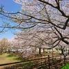 桜、さくら、SAKURA、サクラの巻♡