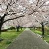 藤沢引地川親水公園の桜並木の花見!iPhoneで撮る湘南の桜♪