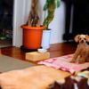 愛犬のトイプードルでカメラ撮影の練習~ミラーレス一眼カメラ~