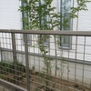 庭木シマトネリコ 4年の成長と初剪定