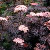 お庭に植えたらエレガント。高級感のある銅葉ツリー10選