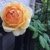 ゴールデン セレブレーション、風で折れる~鉢植え受難の月曜日