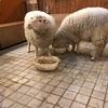 つぶらな瞳のもふもふちゃん♪ホンデで出会える羊たち「Thanks Nature Cafe」
