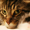 【巨大猫】かわいい メインクーン画像集