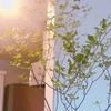 ドウダンツツジの枝が我が家に置いてから5週間を経過しました。