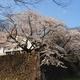 2020年金沢城の桜