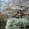 不謹慎ながら京都で桜を見ています。