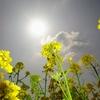 500万本の菜の花が咲きほこる 2021年3月10日時点 福岡県古賀市筵内(むしろうち)