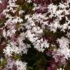 ハゴロモジャスミンの花