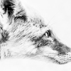 PORTRAIT KITA-KITUNE (Ezo red fox) - monochrome #0724