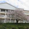 雨風に負けない桜