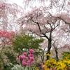 まさに桃源郷!原谷苑の桜の見頃、混雑状況、アクセスは?【京都・京都市】