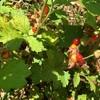 野生の木苺2:ナワシロイチゴをいただきます