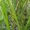 スゲ(菅)2  古事記と同時代の万葉集では,菅は頻出しています.菅を詠む歌は45(49 / 44)首あって,万葉の草花としては6番目に多く詠まれている植物とされています.ただし,万葉集には山菅という植物が詠まれいて,これは湿地や池に生えるスゲとは別種の植物.そして,菅を詠んだ歌の中で「菅の根」とあるのは山菅とされるため,万葉の草花としての順位は9番目がより正確かもしれません. 大君の 御笠に縫へる 有馬菅 有りつつ見れど 事無き吾妹  作者不詳 万葉集巻十一 2767(2757)