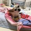 虎太郎(犬)が突然傾きました!特発性前庭疾患。良くなりますように。高齢犬はなりやすいそうなので気をつけて見てあげてください。